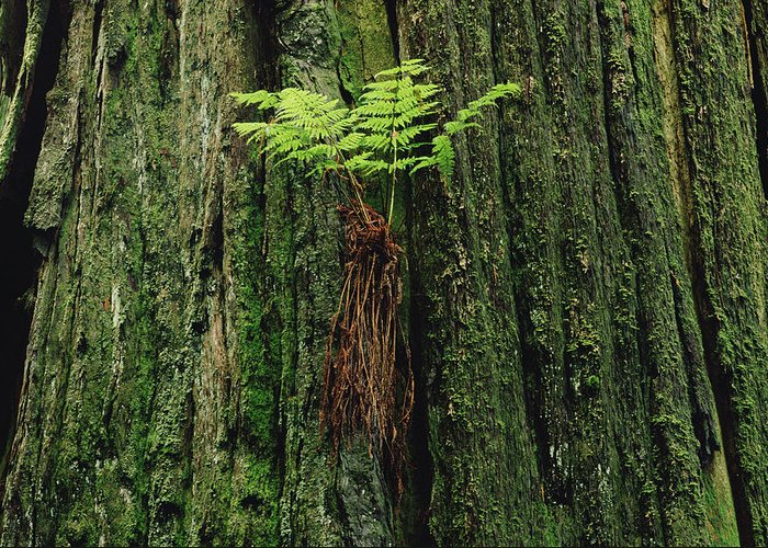 Mp Greeting Card featuring the photograph Epiphytic Fern Growing On Redwood by Gerry Ellis