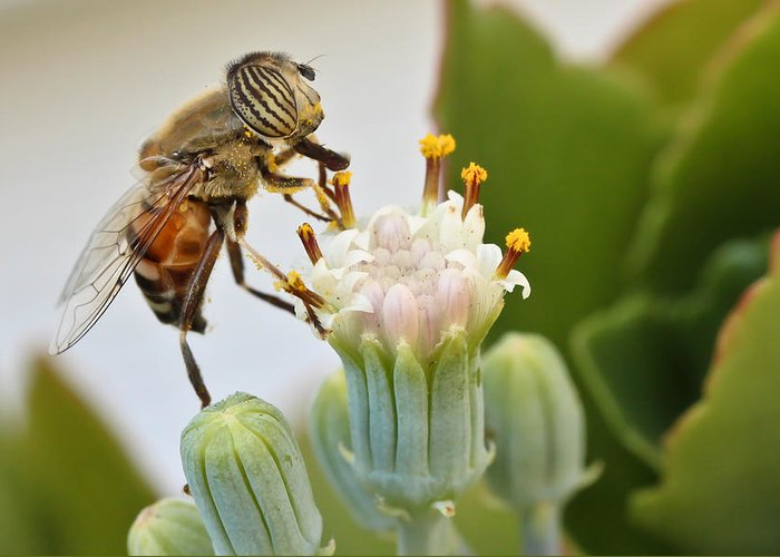 Hover Fly Greeting Card featuring the photograph Eristalinus Taeniops by Heidi Smith