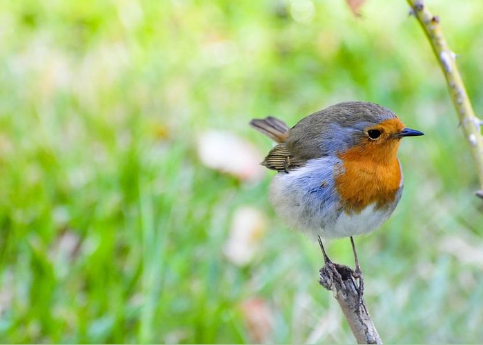Biological Greeting Card featuring the photograph European Robin by Photostock-israel