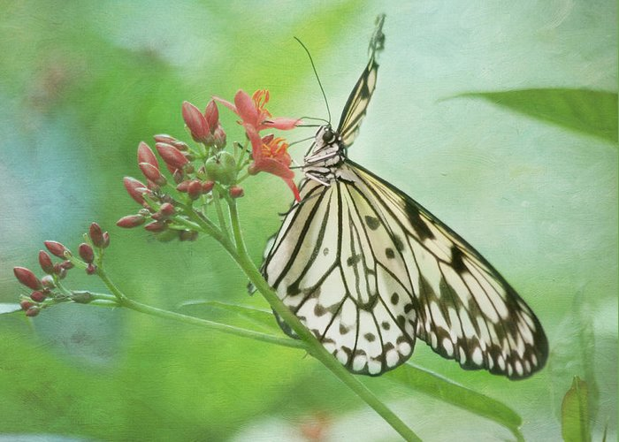 Butterfly Greeting Card featuring the photograph Fairy Dance by Kim Hojnacki