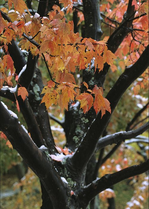 Outdoors Greeting Card featuring the photograph Fall Foliage Of Maple Tree After An by Tim Laman