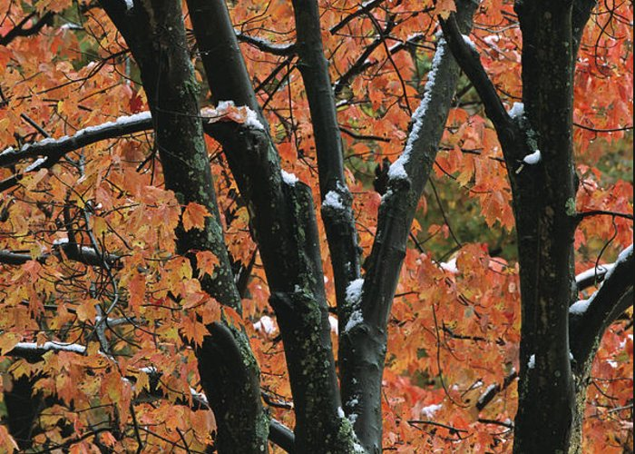 Outdoors Greeting Card featuring the photograph Fall Foliage Of Maple Trees After An by Tim Laman