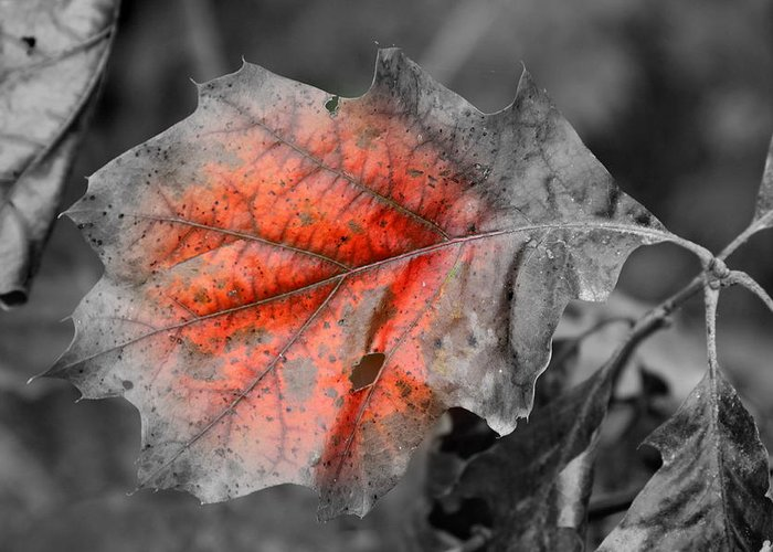 Autumn Greeting Card featuring the photograph Fall Leaf by Rick Rauzi