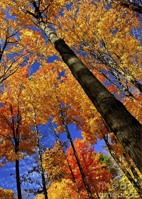 Autumn Greeting Card featuring the photograph Fall Maple Trees by Elena Elisseeva