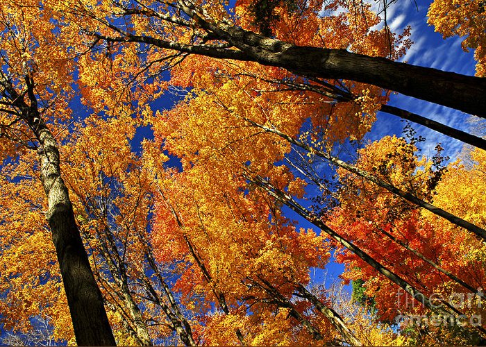 Autumn Greeting Card featuring the photograph Fall Maple Treetops by Elena Elisseeva