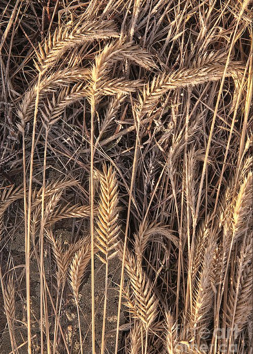 Grains Greeting Card featuring the photograph Fallen Grains by Earl Nelson