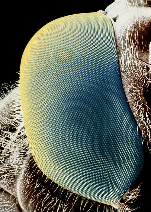 Hover Fly Greeting Card featuring the photograph False-colour Sem Of A Hover Fly's Eye by Dr Jeremy Burgess