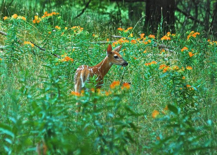 Daybreak Woods Greeting Card featuring the photograph Fawn In A Field Of Milkweed by Michael Peychich