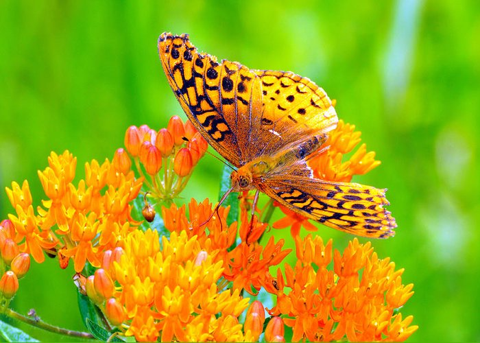 Butterfly Greeting Card featuring the photograph Feeding Butterfly by Paul Ward
