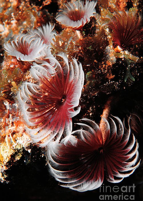 Underwater Greeting Card featuring the photograph Feeding Feather Dusters by Mike Nellums