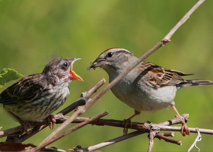 Sparrow Greeting Card featuring the photograph Feeding Time by Bruce J Robinson