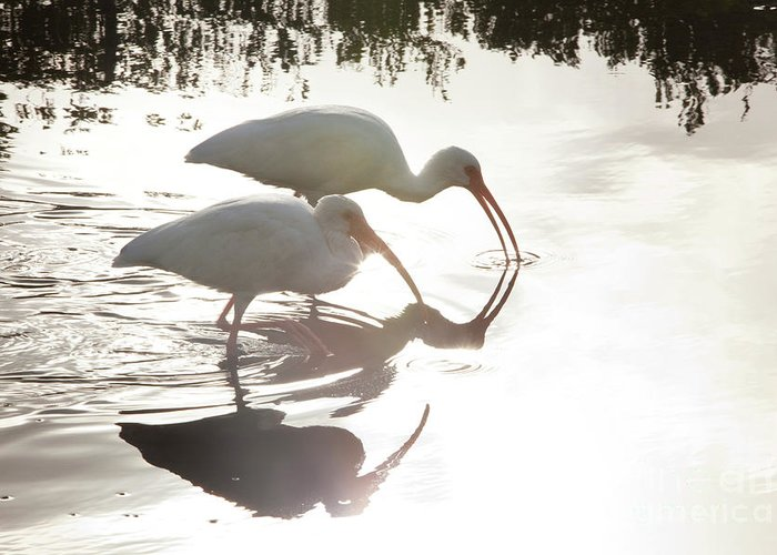 White Ibis Greeting Card featuring the photograph Feeding White Ibis by Keith Kapple