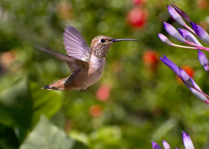 Allen Hummingbird Greeting Card featuring the photograph Female Allen's Hummingbird by Mike Herdering
