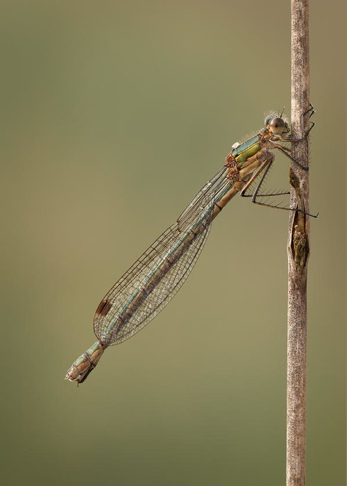 Emerald Greeting Card featuring the photograph Female Emerald Damselfly by Andy Astbury