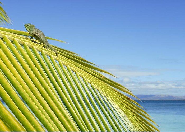 Oustalet's Chameleon Greeting Card featuring the photograph Female Oustalet's Chameleon by Alexis Rosenfeld