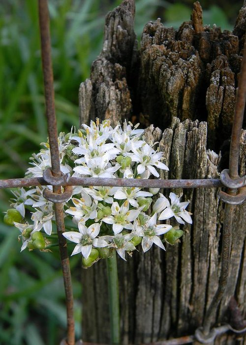 Fence And Flower Greeting Card featuring the photograph Fence And Flower by Warren Thompson
