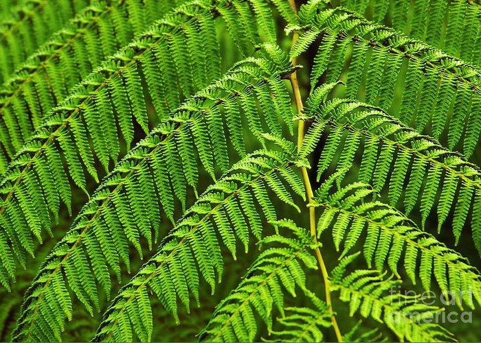 Backgrounds Greeting Card featuring the photograph Fern Fronds by Carlos Caetano