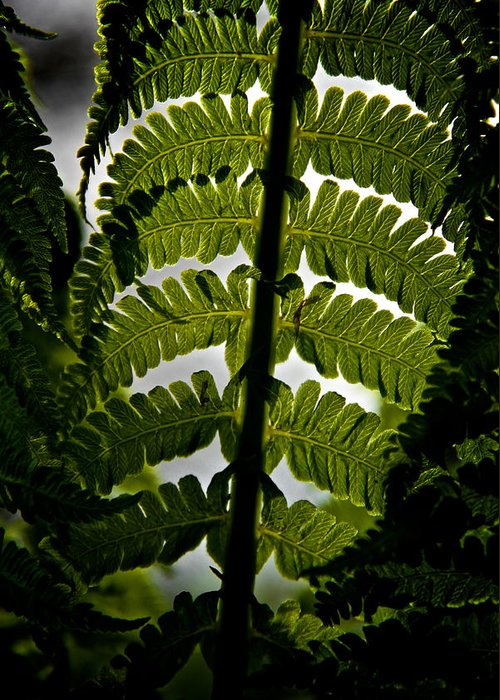 Fern Greeting Card featuring the photograph Fern by Odd Jeppesen