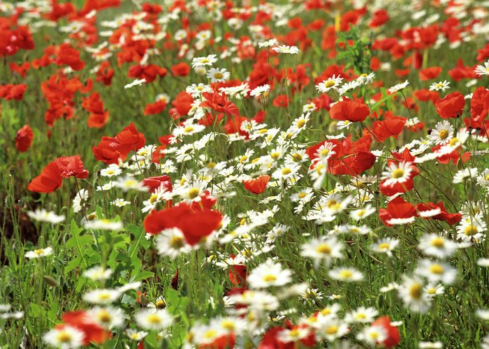 Outdoors Greeting Card featuring the photograph Field Of Daisies And Poppies. by Bernard Jaubert