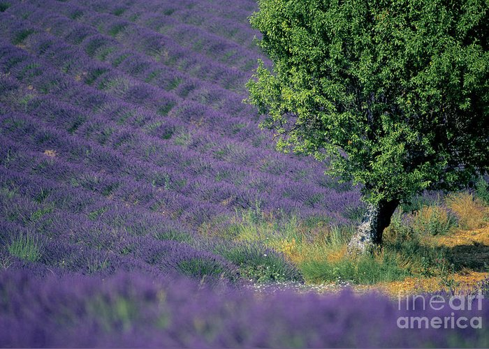 The Tourist Trade Greeting Card featuring the photograph Field Of Lavender by Bernard Jaubert
