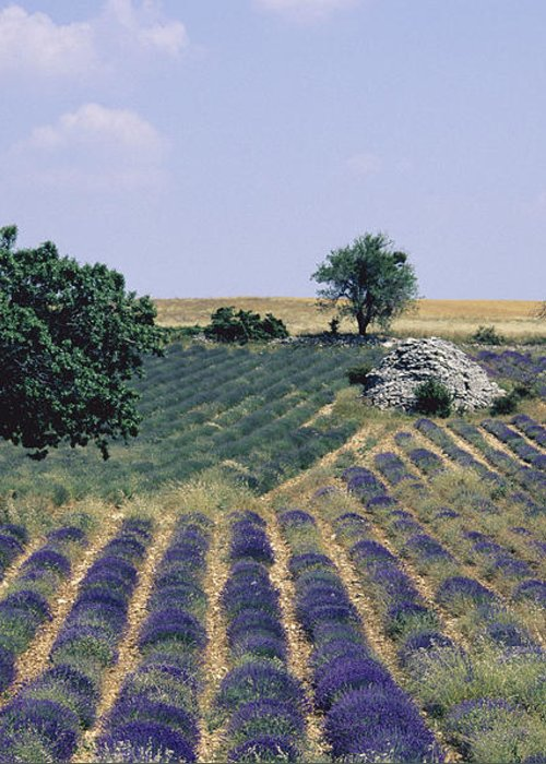 The Tourist Trade Greeting Card featuring the photograph Field Of Lavender. Sault. Vaucluse by Bernard Jaubert