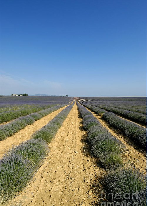 Lavender Greeting Card featuring the photograph Field Of Lavender. Valensole by Bernard Jaubert