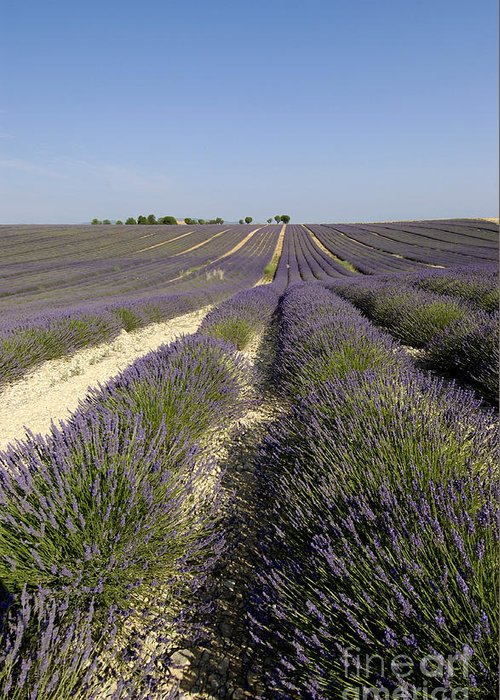 Lavender Greeting Card featuring the photograph Field Of Lavender. Valensole. Provence by Bernard Jaubert