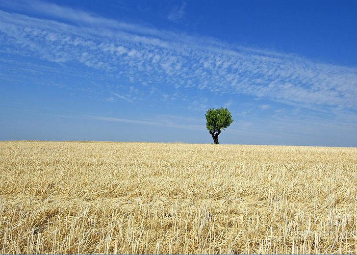 Tree Greeting Card featuring the photograph Field Of Wheat In Provence by Bernard Jaubert