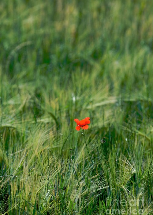 Outdoors Greeting Card featuring the photograph Field Of Wheat With A Solitary Poppy. by Bernard Jaubert