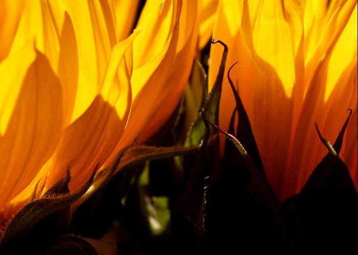 Fiery Greeting Card featuring the photograph Fiery Sunflowers by Kume Bryant