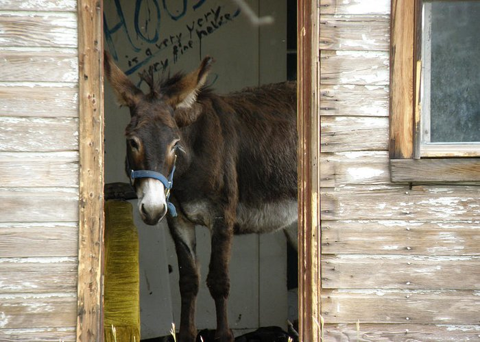 Donkey Greeting Card featuring the photograph Fine House by FeVa Fotos