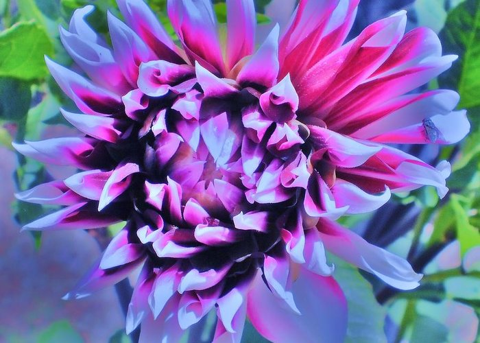 Dahlia Greeting Card featuring the photograph Fireworks by D J Larsen
