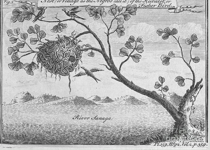 18th Century Greeting Card featuring the photograph Fisher Bird by Granger