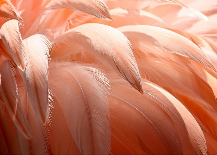 Flamingo Greeting Card featuring the photograph Flamingo Feathers by Paulette Thomas