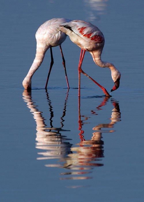 Flamingo: Birds: Kenya: Africa: Water: Greeting Card featuring the photograph Flamingo Reflection by Vic Sharratt