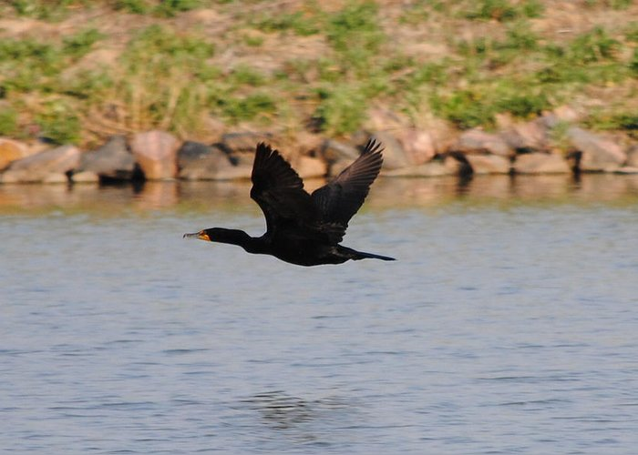 Cormorant Greeting Card featuring the photograph Flight 2 by Paulina Roybal