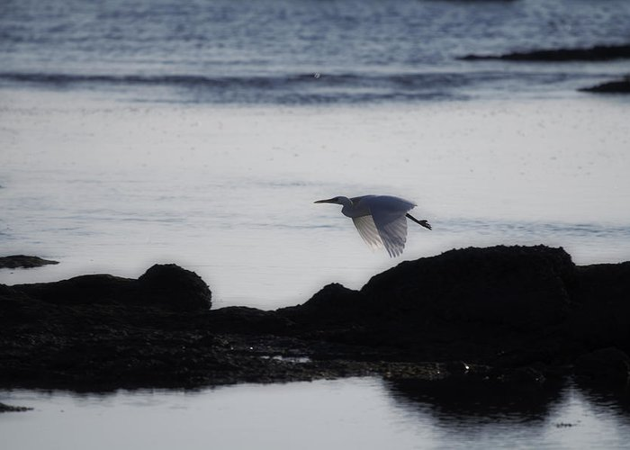 Flight Greeting Card featuring the photograph Flight Of The Egret V2 by Douglas Barnard
