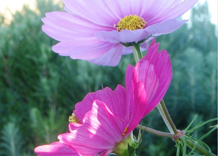 Cosmos Greeting Card featuring the photograph Flirty Cosmos by Judyann Matthews