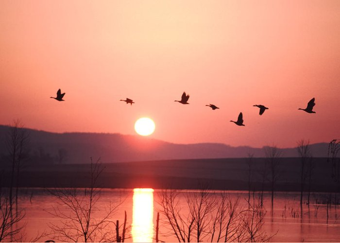 Geese Greeting Card featuring the photograph Flock Of Canada Geese Flying by Ira Block