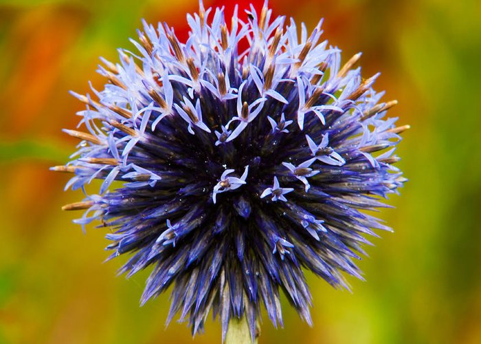 Echinops Ritro 'veitch's Blue' Greeting Card featuring the photograph Floral Colors by Matt Dobson