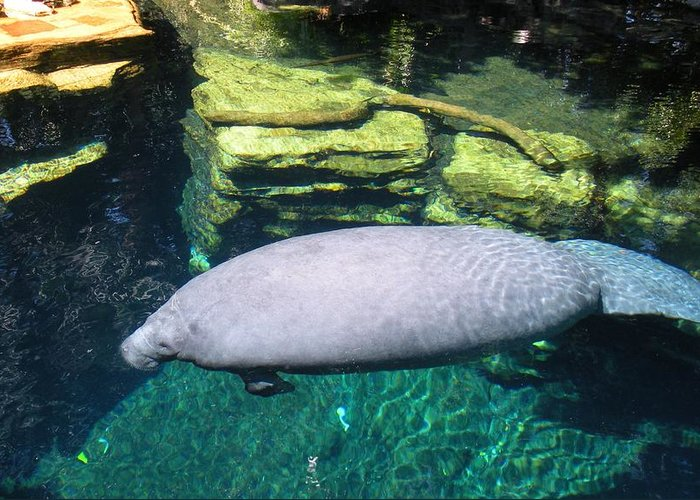 Manatee Greeting Card featuring the photograph Florida Manatee by Maria Bonnier-Perez