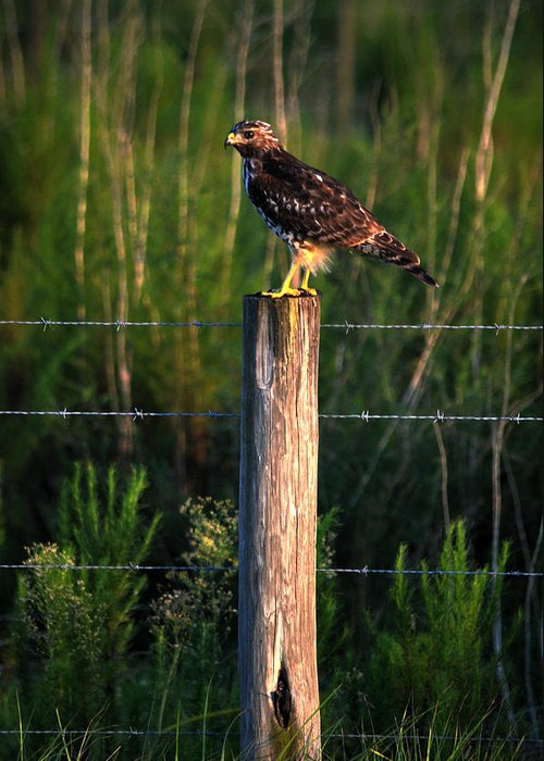 Hawk Greeting Card featuring the photograph Florida Red-shouldered Hawk by Ronald T Williams