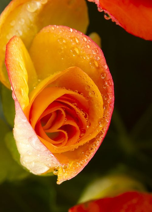 Bright Greeting Card featuring the photograph Flower Rieger Begonia 5 by John Brueske