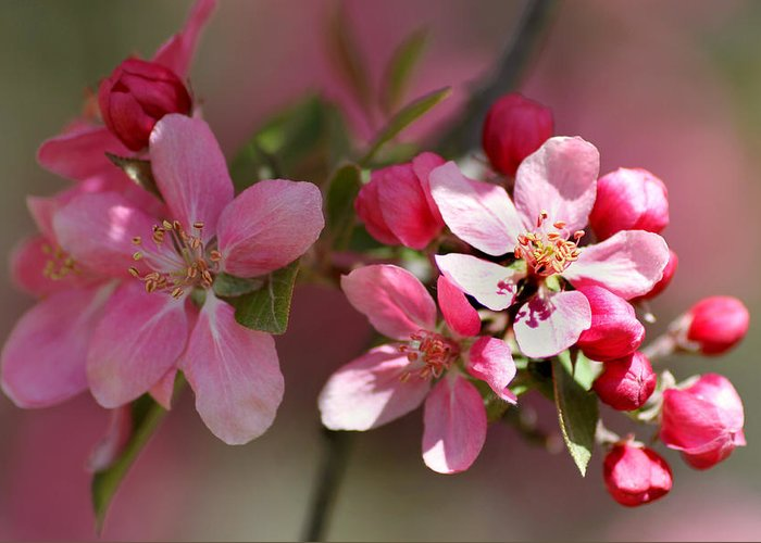 Flower Greeting Card featuring the photograph Flowering Crabapple Detail by Mark J Seefeldt