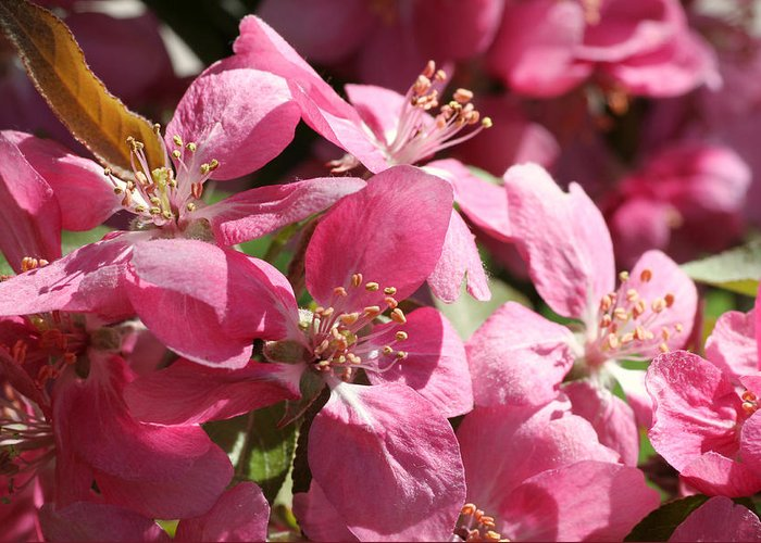 Flower Greeting Card featuring the photograph Flowering Crabapple In Bloom by Mark J Seefeldt