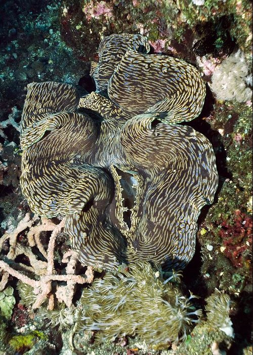 Fluted Giant Clam Greeting Card featuring the photograph Fluted Giant Clam by Georgette Douwma