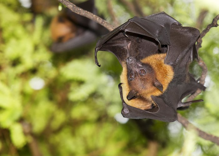 Halloween Greeting Card featuring the photograph Flying Foxes by Anek Suwannaphoom