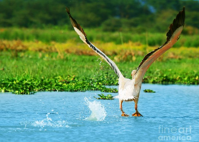 Africa Greeting Card featuring the photograph Flying Great White Pelican by Anna Om