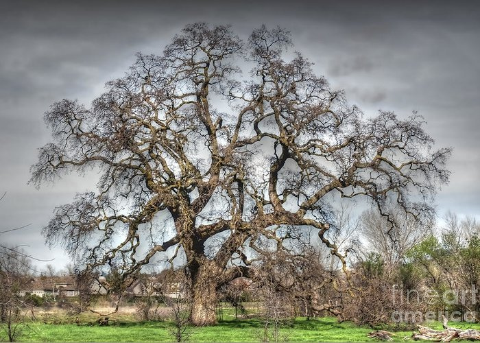 Oak Greeting Card featuring the photograph Folsom Oak Tree by Diego Re
