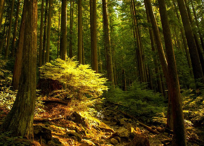 Vancouver Greeting Card featuring the photograph Forest by Matt Trimble